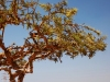 omani frankinscense tree