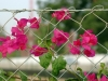 fence with flowers #2